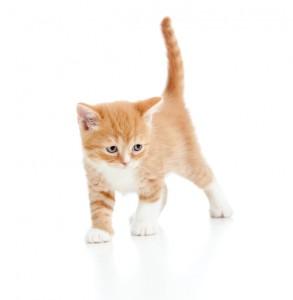 baby cat Scottish kitten isolated on white background