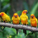 Oiseaux domestiques
